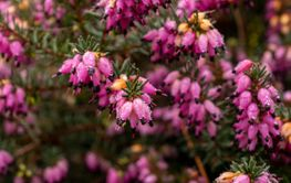 Pretty pink flowers of winter heath, Erica carnea