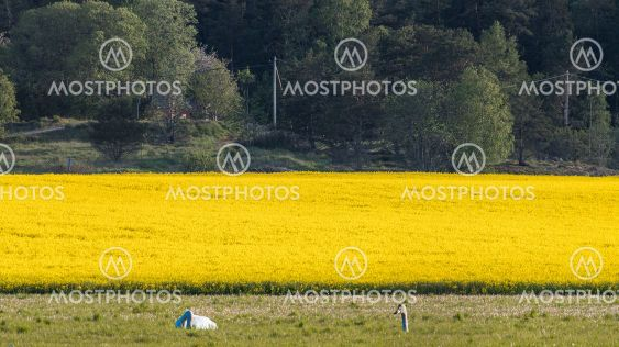 Rapeseed field and a couple of swans hiding in the grass
