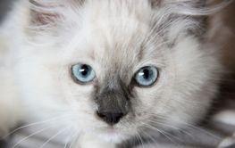 Ragdoll kattunge med blåa ögon