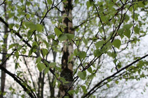 Birch leaves after rain, spring