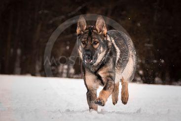 Running German shepherd.