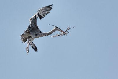 Grey Heron in flight. Ardea cinerea.