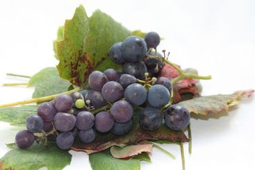 Autumn colored grape leaves and grapes