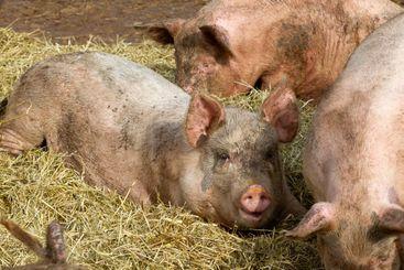 Glada grisar i ekologisk uppfödning