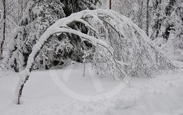 Snö Träd