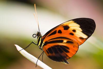 Tropical butterfly Heliconius Numata Aurora