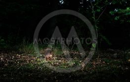 Red squirrel sitting on forest ground at night caught by...