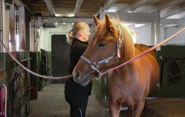 Stallpyssel, hästen njuter av att bli ryktad - Silvertid