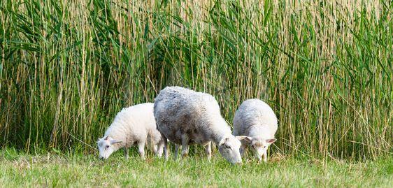 Får och lamm som betar
