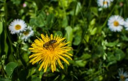 Bee on dandelion head