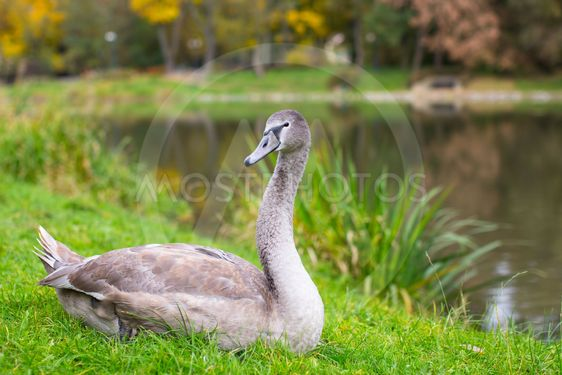 Swan lying on a green meadow in the Park.