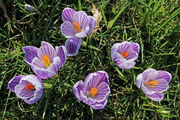 Six beautiful flower heads of spring crocus (Iridaceae)...