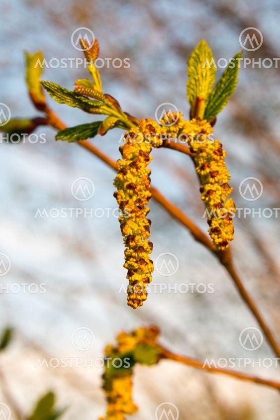 Весенние сережки на березе
