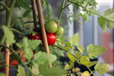 Tomato plant on balcony with green and red fruit