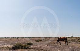 Ko betar på en kalkstenshäll på Stora Alvaret på Öland