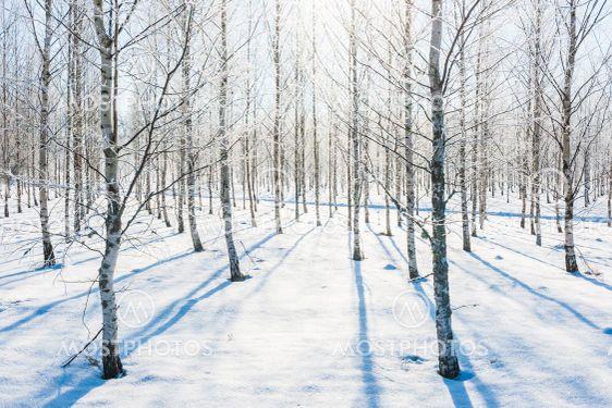Frosty birch trees in sunlight