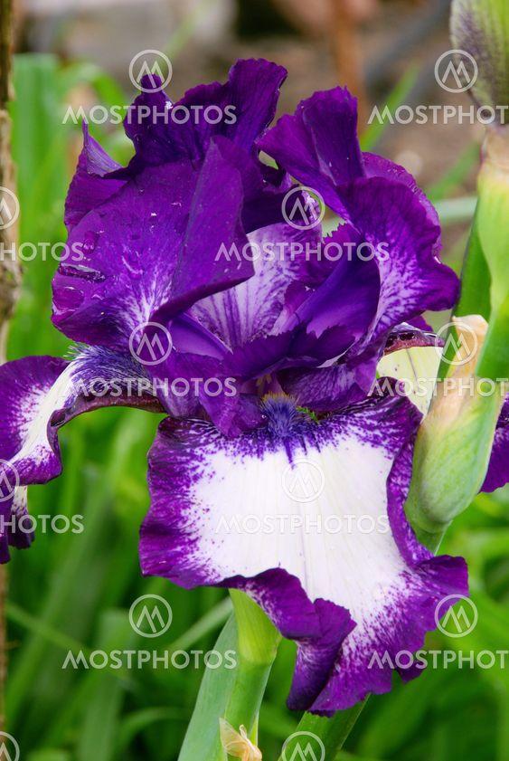 Schwertlilie - iris 47