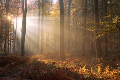 france,forêt de lyons : soleil d'automne entre les hêtres...