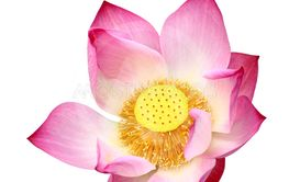 Lotus Cutout