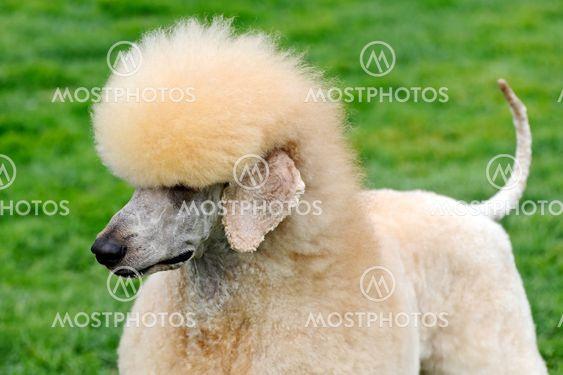 Poodle hund