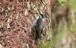 Eurasian Three-toed woodpecker (Picoides tridactylus)...