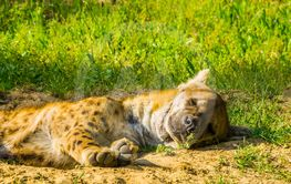 closeup portrait of a spotted hyena sleeping on the...