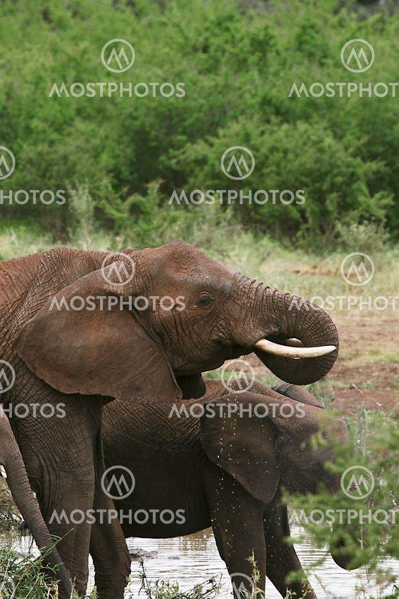 Elefanter (Loxodonta africana)