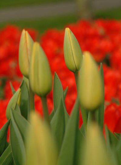 gelbe tulpen | yelow tulips