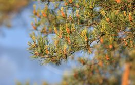 Natural background, pine on the sky