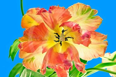flora : tulip