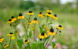Rudbeckia Hirta L. Toto, Black-Eyed Susan flowers of the...