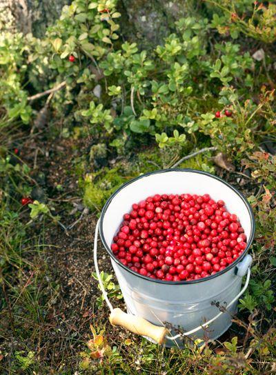 lingonberries