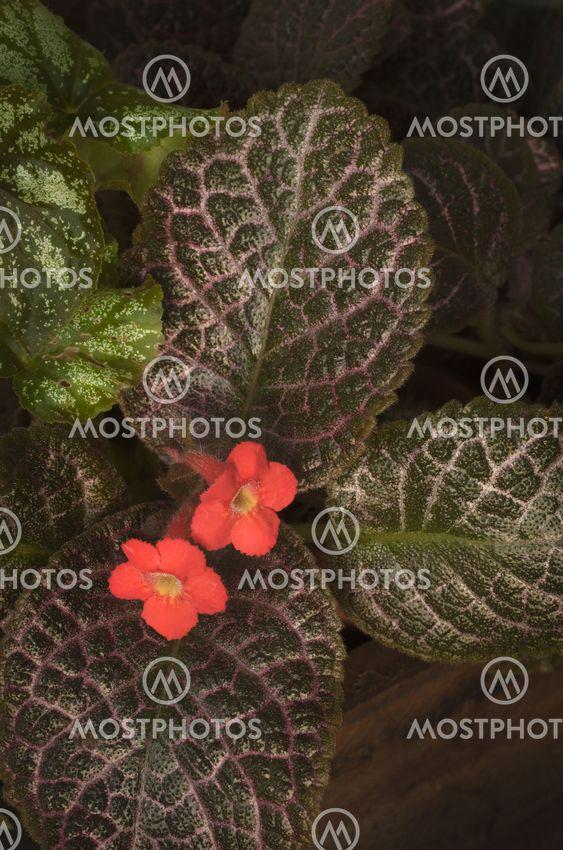 Red Episcia flower