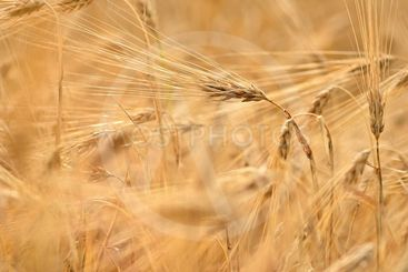 Beautiful detail of corn grown on field. Background and...