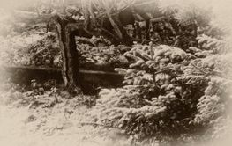 An old winter forest