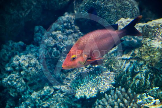 Red marine game fish on coral reef