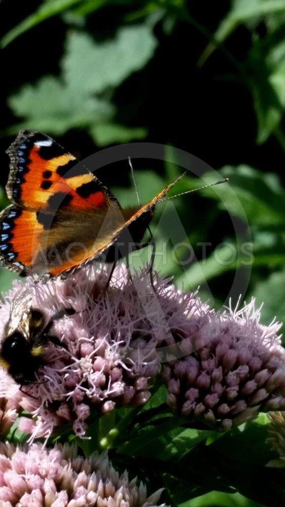 Fjärilar på hampflockel