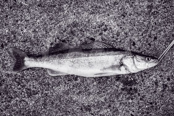 Gös fisk