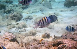 view of a school of stripy fish