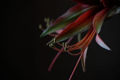 amaryllis in black