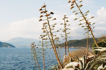 Tall agave on a cliff above the water with a view of the...