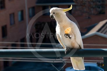 Australian Sulphur-crested Cockatoo eating a cracker....