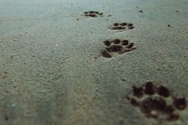 Dog footprints on the sand of the beach with copy space