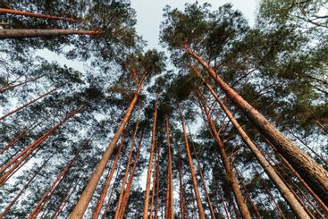 Looking Up In Spring Pine Forest Tree To Canopy. Bottom...