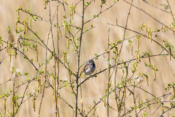 träd med hängen på våren