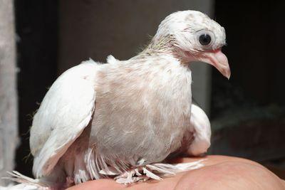 Pigeon nestling baby on hand