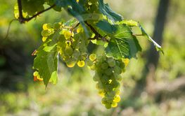 white grapes in a vineyard  in daylight