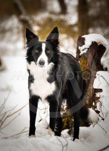 Portrait of black and white border collie