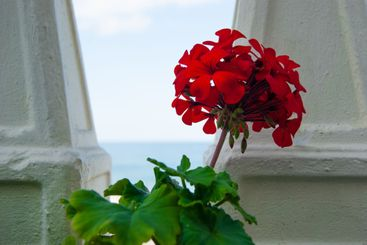 Big red geranium went for a walk on the promenade and...