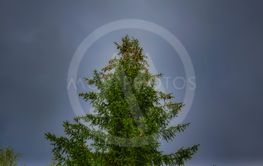 Crohn big spruce with cones on a background of cloudy sky.